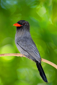 Black-fronted Nunbird (Monasa nigrifrons)  perched on a tree branch, Mato Grosso, Pantanal, Brazil.  July.  -  Ben  Cranke