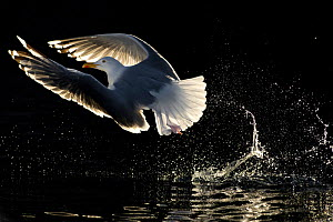 European Herring Gull (Larus argentatus) taking off, Norway, May.  -  Ben  Cranke