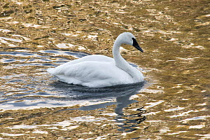 Trumpeter Swan (Cygnus buccinator) Yellowstone National Park, Wyoming, USA.  January. - Ben  Cranke