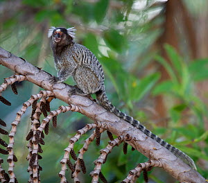 Common Marmoset (Calithrix jacchus)  sitting on branch, Piaui, Brazil,  July.  -  Ben  Cranke
