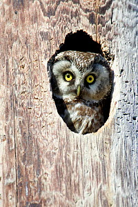 Tengmalm's Owl, Boreal Owl (Aegolius funereus) looking out from its nest hole, Norway. - Ben  Cranke