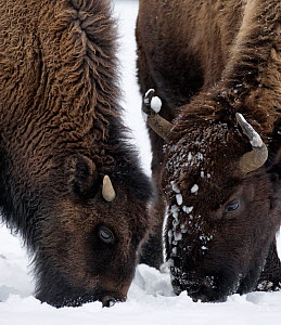 American Bison (Bison bison) foraging in the snow, Yellowstone National Park, Wyoming, USA.  January. - Ben  Cranke