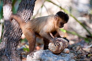 Black-striped capuchin (Sapajus libidinosus) using rock as a tool to break open palm nut, Parnaiba Headwaters National Park, Piaui, Brazil.  August.  -  Ben  Cranke