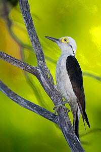 White Woodpecker (Melanerpes candidus) perched on a tree branch, Piaui, Brazil.  August. - Ben  Cranke