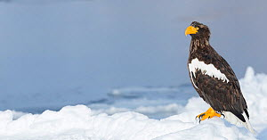 Steller's Sea Eagle (Haliaeetus pelagicus) stood on ice floe, Hokkaido, Japan.  February. - Ben  Cranke