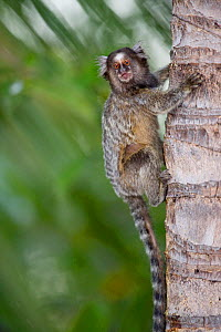 Common Marmoset (Calithrix jacchus)  sitting on palm tree,  Piaui, Brazil.  August.  -  Ben  Cranke