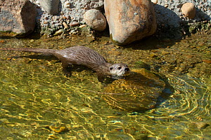 Asian short-clawed otter (Aonyx cinerea). Captive. Occurs throughout much of Asia including Bangladesh, Burma ,India ,South China and the Philippines. - Barry Mansell