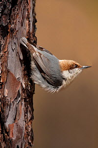 Brown-headed nuthatch (Sitta pusilla), male. North Florida, USA, March.  -  Barry Mansell