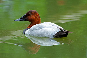 Canvasback duck (Aythya valisineria), male. Captive. Occurs in North America.  -  Barry Mansell