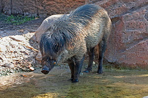 Visyan warty pig (Sus cebifrons) captive, endemic to Visyan Islands, Philippines. Critically endangered species.  -  Barry Mansell