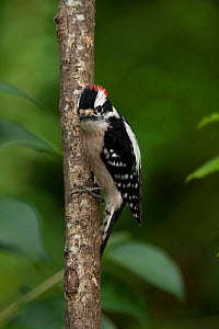 Downy woodpecker (Picoides pubescens), male. North Florida, USA, April. - Barry Mansell