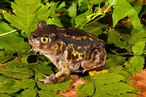 Eastern spadefoot toad (Scaphiopus holbrookii). West Florida, USA, March.  -  Barry Mansell
