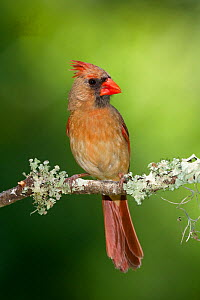 Northern cardinal (Cardinalis cardinalis) female. North Florida, USA, May. - Barry Mansell