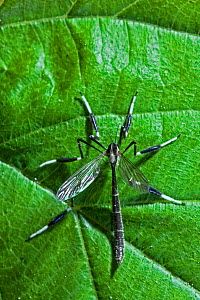 Phantom crane fly (Bittacomorpha clavipes) Florida, USA, April. - Barry Mansell