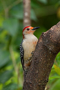 Red-bellied woodpecker (Melanerpes carolinus), male. North Florida, USA, April.  -  Barry Mansell