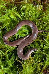 Smooth earth snake (Virginia valeriae), Controlled conditions. North West Florida, USA, April. - Barry Mansell