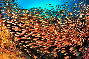 School of yellow sweepers / glassfish (Parapriacanthus ransonneti / guentheri) on reef, coast of Dhofar and Hallaniyat islands, Oman. Arabian Sea. - Pascal Kobeh