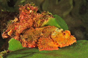 Bearded scorpionfish (Scorpaenopsis barbatus), coast of Dhofar and Hallaniyat islands, Oman. Arabian Sea. - Pascal Kobeh