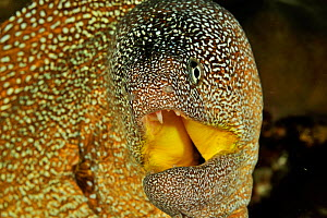 Close-up of the head of a Yellowmouth / Starry moray (Gymnothorax nudivomer) with mouth open, coast of Dhofar and Hallaniyat islands, Oman. Arabian Sea.  -  Pascal Kobeh
