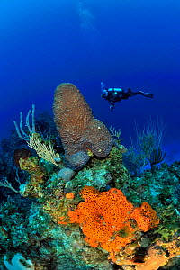 Diver above the reef with Caribbean sea whips (Plexaura homomalla), Elephant ear sponge (Agelas clathrodes) and a Great star coral (Montastraea cavernosa), San Salvador Island / Colombus Island, Baham... - Pascal Kobeh