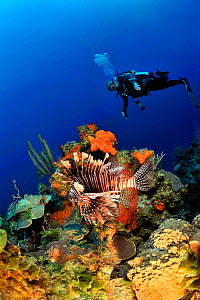 Diver above the reef with sponges, corals and Common lionfish (Pterois volitans) San Salvador Island / Colombus Island, Bahamas. Caribbean. June 2013.  -  Pascal Kobeh