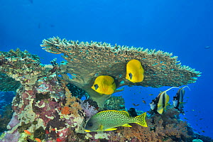 Pair of Masked butterflyfish (Chaetodon semilarvatus), pair of Red Sea bannerfish (Heniochus intermedius) and Backspotted sweetlips (Plectorhinchus gaterinus) under a hard coral table (Acropora) Sudan... - Pascal Kobeh
