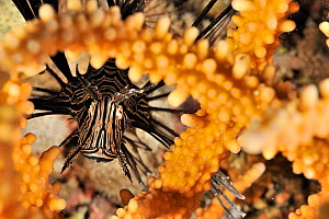 Common lionfish (Pterois volitans) hiding behind a coral,  Sudan. Red Sea.  -  Pascal Kobeh