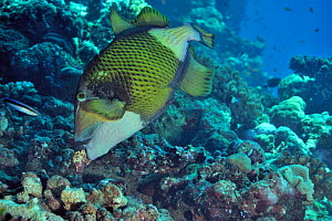 Giant triggerfish (Balistoides viridescens) building its nest,  Sudan. Red Sea.  -  Pascal Kobeh