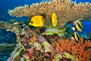Pair of Masked butterflyfish (Chaetodon semilarvatus), pair of Red Sea bannerfish (Heniochus intermedius) and Blackspotted sweetlips (Plectorhinchus gaterinus) under a hard coral table (Acropora) Suda... - Pascal Kobeh