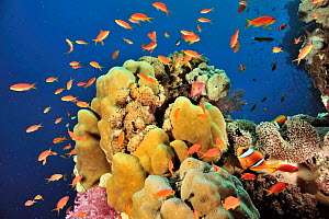 Coral drop off with hard corals (Porites) and jewel fairy basslets (Pseudanthias squamipinnis) and two-band anemonefish (Amphiprion bicinctus) in a Mertens' sea anemone (Stichodactyla mertensii) Sudan...  -  Pascal Kobeh