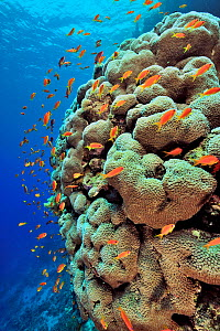 Coral drop off with hard corals possibly (Porites) and Kewel fairy basslets (Pseudanthias squamipinnis) Sudan. Red Sea.  -  Pascal Kobeh