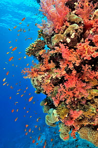 Coral drop off with soft corals (Dendronephthya) and (Sarcophyton ), hard corals (Acropora) and (Porites) and Jewel fairy basslets (Pseudanthias squamipinnis) Sudan. Red Sea.  -  Pascal Kobeh