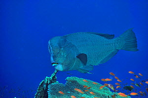 Humphead parrotfish (Bolbometopon muricatum) above coral reef, cleaned by two Blue streaked cleaner wrasses (Labroides dimidiatus) among Jewel fairy basslets / anthias (Pseudanthias squamipinnis) Suda... - Pascal Kobeh