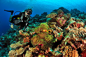 Diver on a reef with hard corals (Porites) and Table corals (Acropora) and Magnificent sea anemone (Heteractis magnifica) with Maldives anemonefish (Amphiprion nigripes) Maldives. Indian Ocean. March...  -  Pascal Kobeh