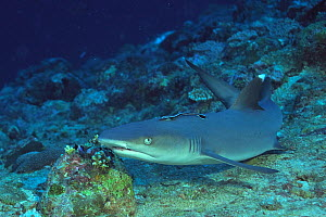 White tip shark (Triaenodon obesus) resting on sea floor with a remora (Echeneis naucrates) attached to its back,  Maldives. Indian Ocean.  -  Pascal Kobeh