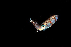 Caribbean reef squid (Sepioteuthis sepioidea) swimming in open water at night,  Guadeloupe Island, Mexico. Caribbean. - Pascal Kobeh