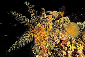 Giant basket star (Astrophyton muricatum) at night,  Guadeloupe Island, Mexico. Caribbean.  -  Pascal Kobeh