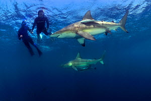 Pierre Frolla, free diving record holder of the world, and female diver training with him, diving among Blacktip sharks (Carcharhinus limbatus), Kwazulu-Natal, South Africa. Indian Ocean. November 201... - Pascal Kobeh