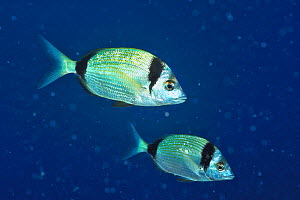 Two Common two-banded sea breams (Diplodus vulgaris), Gozo Island, Malta. Mediterranean Sea.  -  Pascal Kobeh