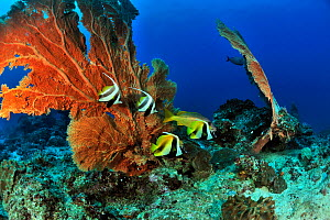 Two Longfin / Reef bannerfish (Heniochus acuminatus) and two Masked bannerfish (Heniochus monoceros) in front of Giant seafans / gorgonians (Subergorgia mollis) on a coral reef,  Madagascar. Indian Oc... - Pascal Kobeh