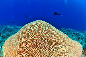 Sun coral (Diploastrea heliopora) with divers in the background,  Madagascar. Indian Ocean. September 2012.  -  Pascal Kobeh