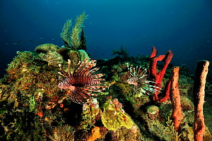 Common lionfish (Pterois volitans) introduced species, Guadeloupe Island, Mexico. Caribbean. - Pascal Kobeh