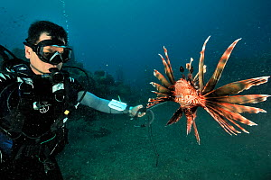 Franck Mazeas, a Guadeloupe scientist shooting a Common lionfish (Pterois volitans) with a spear gun. Introduced species,  Guadeloupe Island, Mexico. Caribbean. - Pascal Kobeh