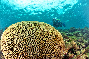 Brain coral (Diploria labyrinthiformis) with diver, Guadeloupe Island, Mexico. Caribbean. August 2012. - Pascal Kobeh