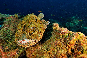 Stone / Pacific spotted scorpionfish (Scorpaena mystes), Revillagigedo islands, Mexico. Pacific Ocean.  -  Pascal Kobeh
