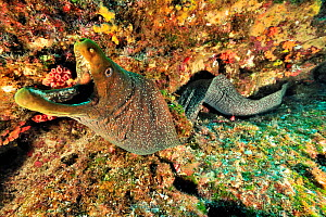 Finespotted / Speckled moray (Gymnothorax dovii) the mouth wide open, Revillagigedo islands, Mexico. Pacific Ocean.  -  Pascal Kobeh
