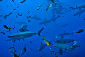 Group of Silvertip sharks (Carcharhinus albimarginatus) in open water, Revillagigedo islands, Mexico. Pacific Ocean. - Pascal Kobeh