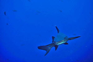 White tip shark (Triaenodon obesus) swimming in open water, Revillagigedo islands, Mexico. Pacific Ocean.  -  Pascal Kobeh