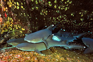 Group of White tip sharks (Triaenodon obesus) resting on sea floor, Revillagigedo islands, Mexico. Pacific Ocean.  -  Pascal Kobeh
