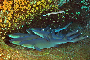Group of White tip sharks (Triaenodon obesus) resting on sea floor with a Trumpetfish (Aulostomus chinensis) on top of them, Revillagigedo islands, Mexico. Pacific Ocean.  -  Pascal Kobeh